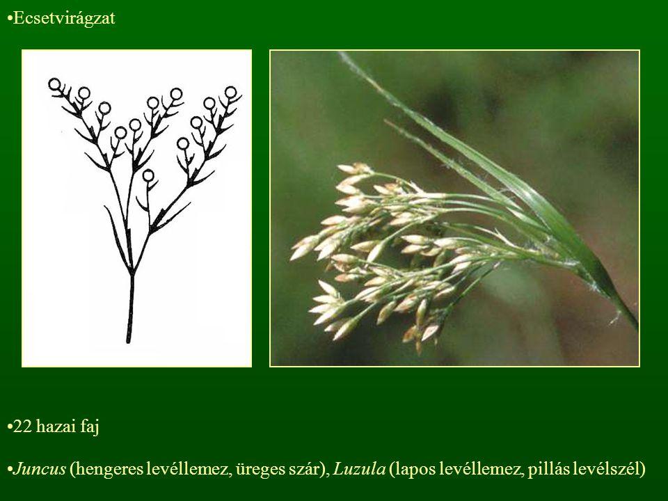 Ecsetvirágzat 22 hazai faj Juncus (hengeres levéllemez, üreges szár), Luzula (lapos levéllemez, pillás levélszél)