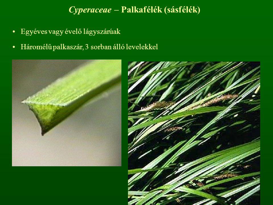 Cyperaceae – Palkafélék (sásfélék) Egyéves vagy évelő lágyszárúak Háromélű palkaszár, 3 sorban álló levelekkel