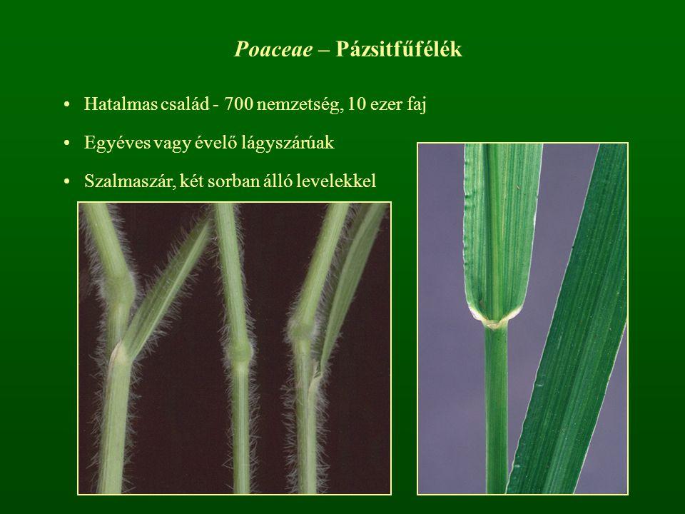 Poaceae – Pázsitfűfélék Hatalmas család - 700 nemzetség, 10 ezer faj Egyéves vagy évelő lágyszárúak Szalmaszár, két sorban álló levelekkel