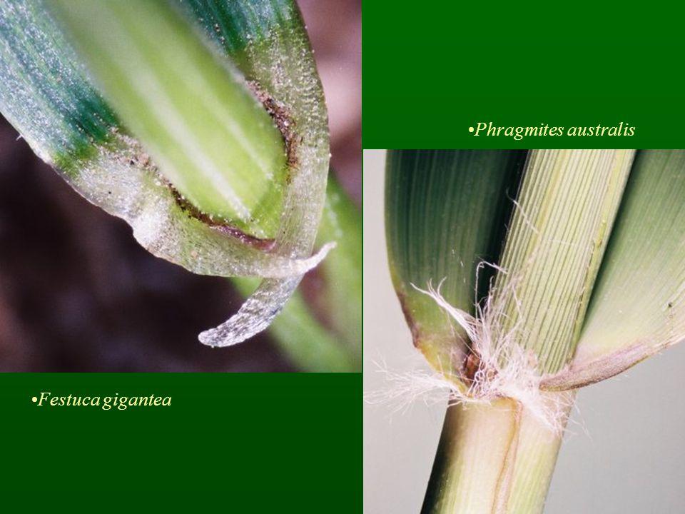 Festuca gigantea Phragmites australis