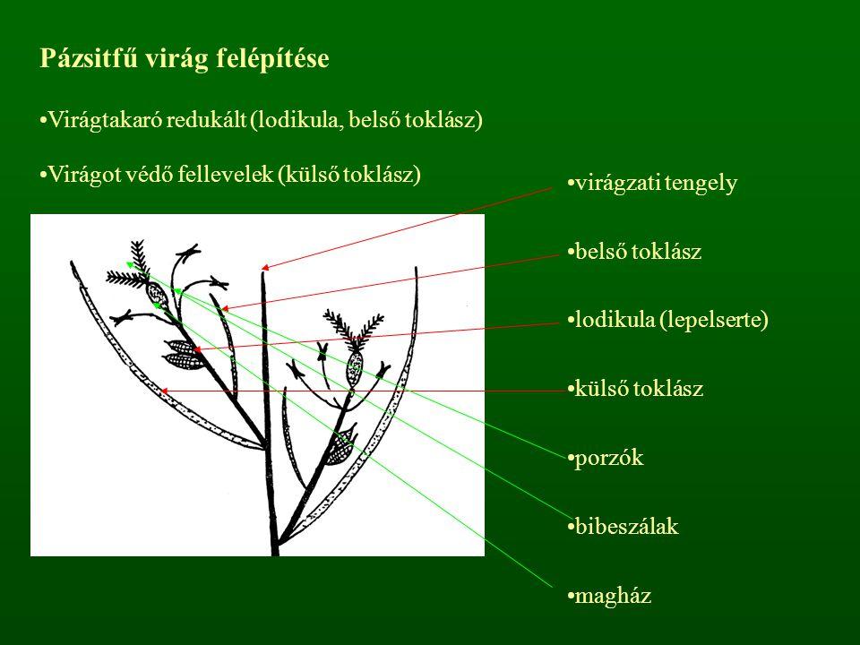 Pázsitfű virág felépítése Virágtakaró redukált (lodikula, belső toklász) Virágot védő fellevelek (külső toklász) virágzati tengely belső toklász lodik