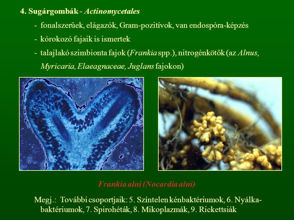 4. Sugárgombák - Actinomycetales -fonalszerűek, elágazók, Gram-pozitívok, van endospóra-képzés -kórokozó fajaik is ismertek -talajlakó szimbionta fajo