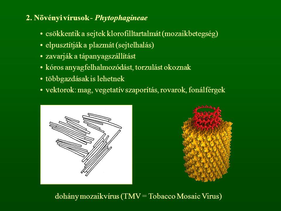 2. Növényi vírusok - Phytophagineae csökkentik a sejtek klorofilltartalmát (mozaikbetegség) elpusztítják a plazmát (sejtelhalás) zavarják a tápanyagsz