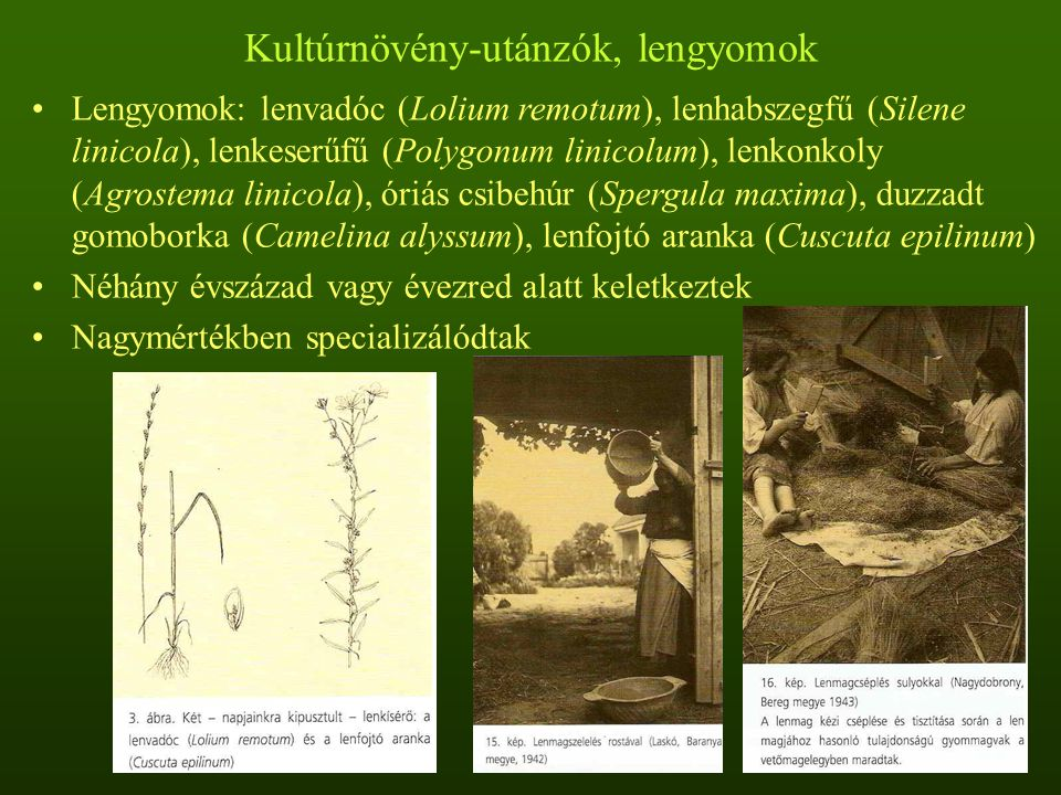 Kultúrnövény-utánzók, lengyomok Lengyomok: lenvadóc (Lolium remotum), lenhabszegfű (Silene linicola), lenkeserűfű (Polygonum linicolum), lenkonkoly (A