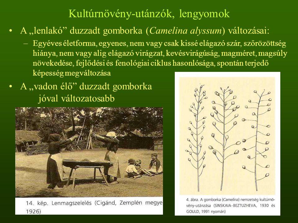 """Kultúrnövény-utánzók, lengyomok A """"lenlakó duzzadt gomborka (Camelina alyssum) változásai: –Egyéves életforma, egyenes, nem vagy csak kissé elágazó szár, szőrözöttség hiánya, nem vagy alig elágazó virágzat, kevésvirágúság, magméret, magsúly növekedése, fejlődési és fenológiai ciklus hasonlósága, spontán terjedő képesség megváltozása A """"vadon élő duzzadt gomborka jóval változatosabb"""