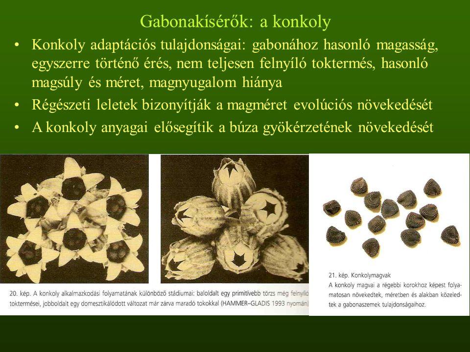 Gabonakísérők: a konkoly Konkoly adaptációs tulajdonságai: gabonához hasonló magasság, egyszerre történő érés, nem teljesen felnyíló toktermés, hasonl