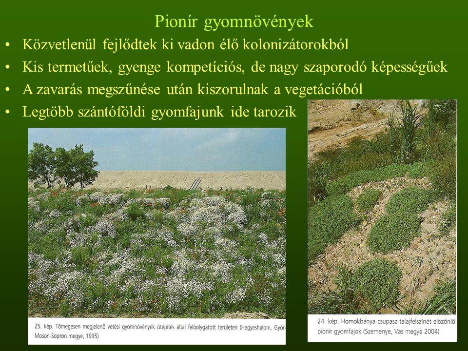 Pionír gyomnövények Közvetlenül fejlődtek ki vadon élő kolonizátorokból Kis termetűek, gyenge kompetíciós, de nagy szaporodó képességűek A zavarás meg