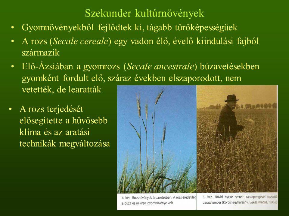 Szekunder kultúrnövények Gyomnövényekből fejlődtek ki, tágabb tűrőképességűek A rozs (Secale cereale) egy vadon élő, évelő kiindulási fajból származik