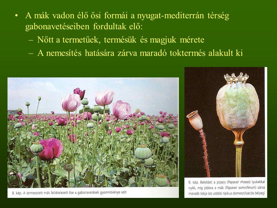 A mák vadon élő ősi formái a nyugat-mediterrán térség gabonavetéseiben fordultak elő: –Nőtt a termetűek, termésük és magjuk mérete –A nemesítés hatására zárva maradó toktermés alakult ki