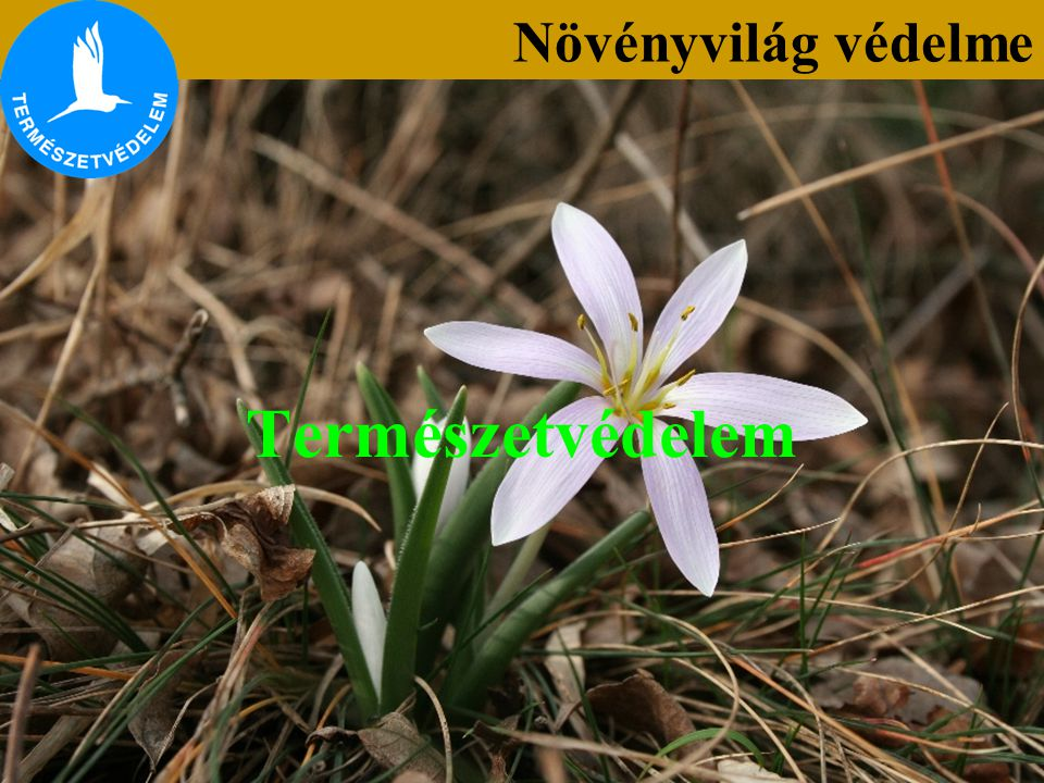Kipusztulással közvetlenül veszélyeztetett fajok (KV) A kipusztulással közvetlenül veszélyeztetett fajok közé sorolt növények hazánkban kis egyedszámban, elszigetelt populációkban élnek, javarészt erősen visszaszorulóban, pusztulóban vannak (pl.