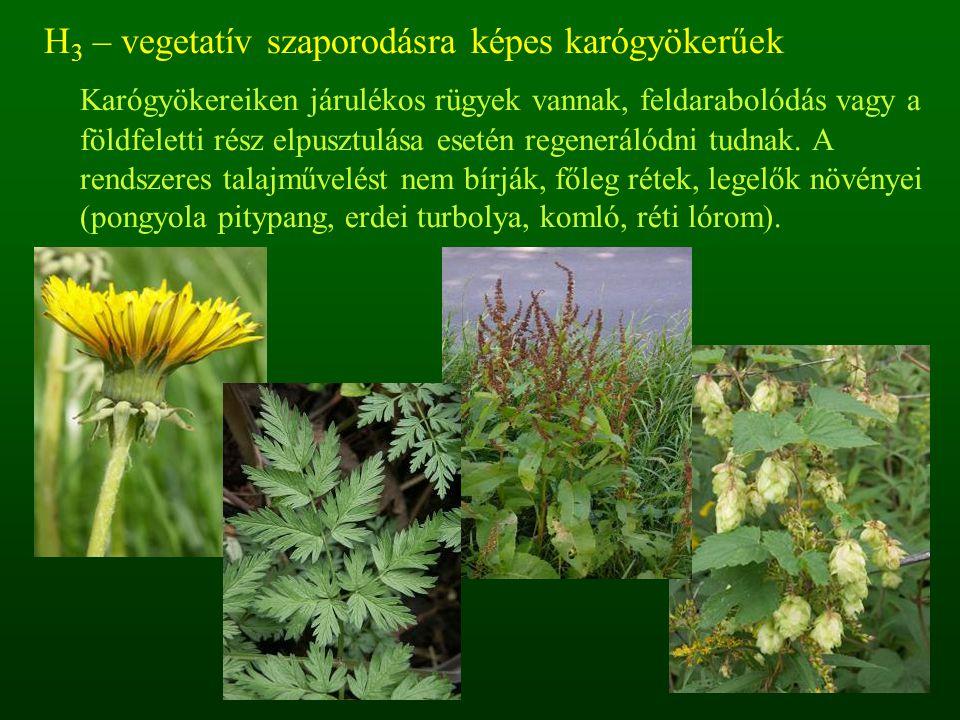 H 3 – vegetatív szaporodásra képes karógyökerűek Karógyökereiken járulékos rügyek vannak, feldarabolódás vagy a földfeletti rész elpusztulása esetén r