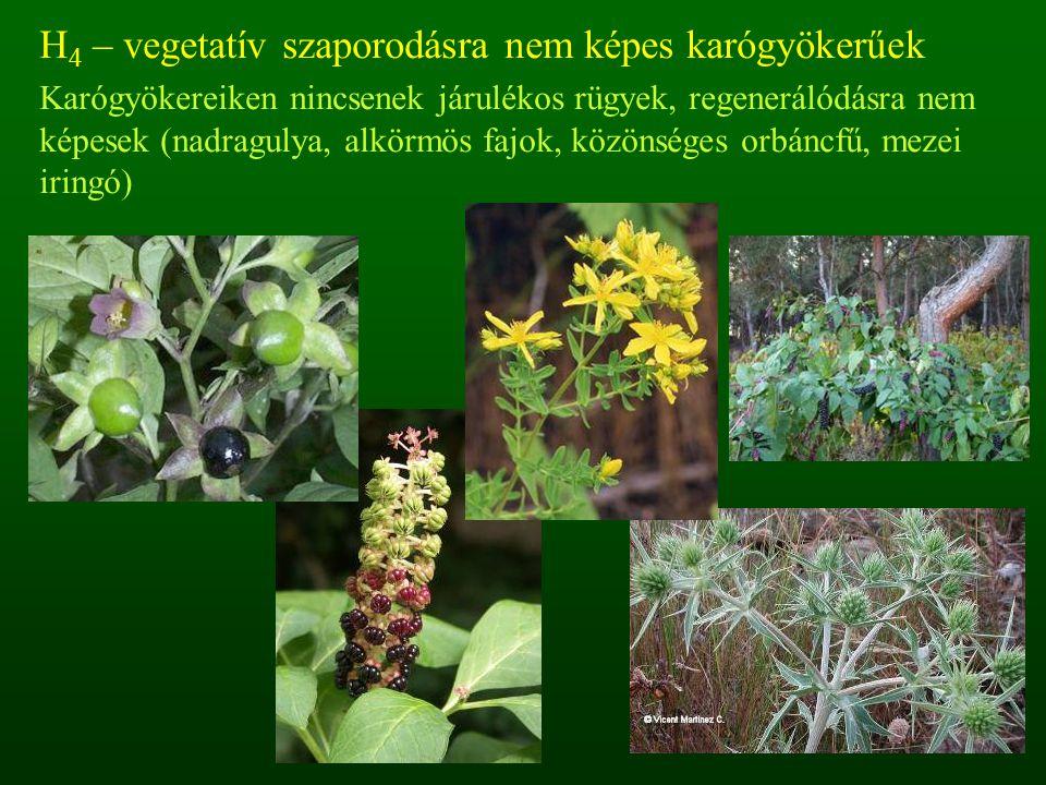 H 4 – vegetatív szaporodásra nem képes karógyökerűek Karógyökereiken nincsenek járulékos rügyek, regenerálódásra nem képesek (nadragulya, alkörmös faj