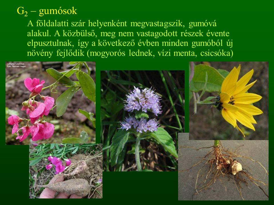 G 2 – gumósok A földalatti szár helyenként megvastagszik, gumóvá alakul. A közbülső, meg nem vastagodott részek évente elpusztulnak, így a következő é