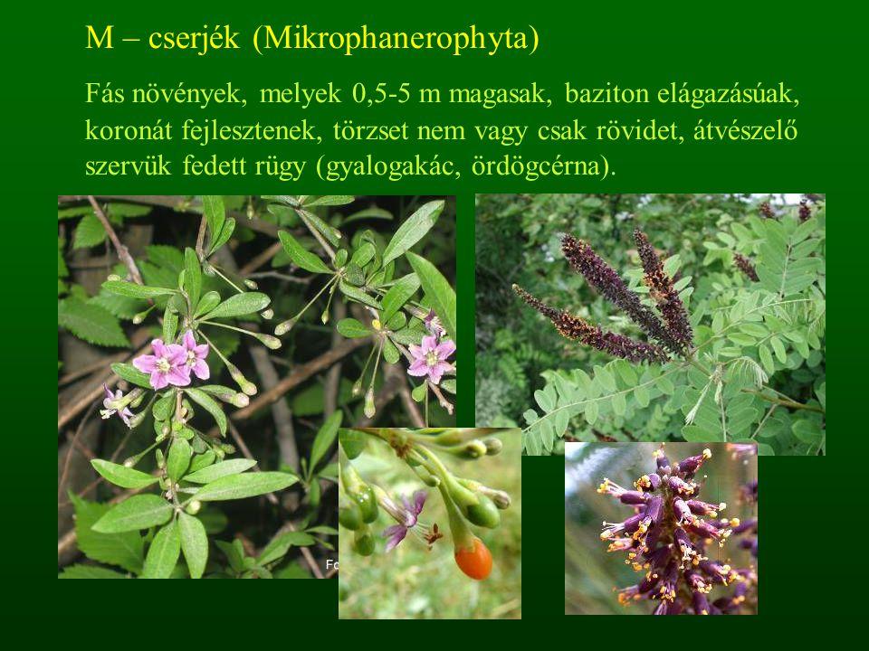 M – cserjék (Mikrophanerophyta) Fás növények, melyek 0,5-5 m magasak, baziton elágazásúak, koronát fejlesztenek, törzset nem vagy csak rövidet, átvész