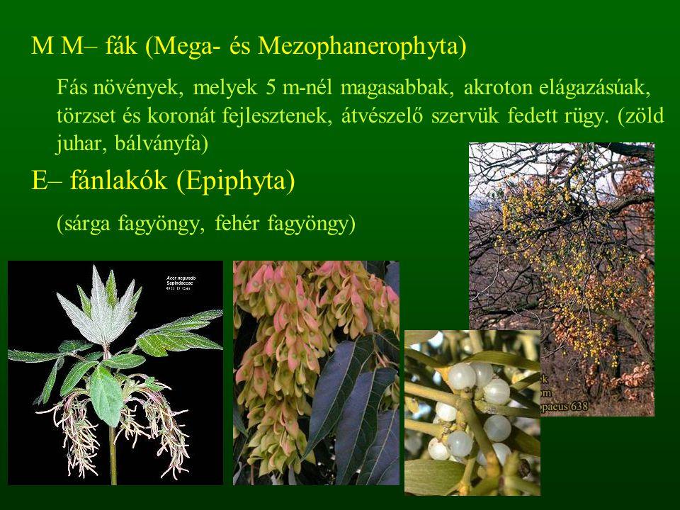 M M– fák (Mega- és Mezophanerophyta) Fás növények, melyek 5 m-nél magasabbak, akroton elágazásúak, törzset és koronát fejlesztenek, átvészelő szervük