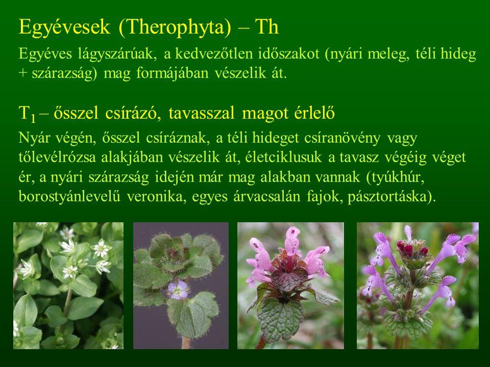 Egyévesek (Therophyta) – Th Egyéves lágyszárúak, a kedvezőtlen időszakot (nyári meleg, téli hideg + szárazság) mag formájában vészelik át. T 1 – őssze