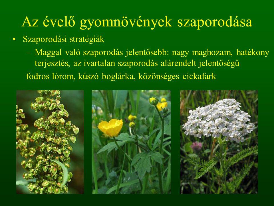 Az évelő gyomnövények szaporodása Szaporodási stratégiák –Maggal való szaporodás jelentősebb: nagy maghozam, hatékony terjesztés, az ivartalan szaporo
