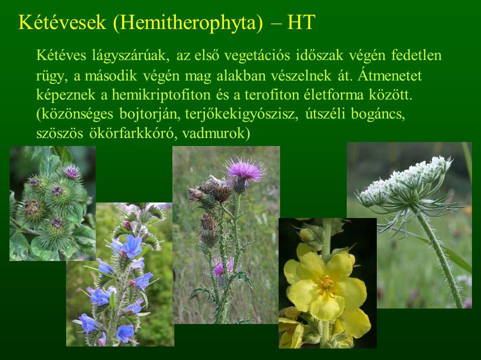 Kétévesek (Hemitherophyta) – HT Kétéves lágyszárúak, az első vegetációs időszak végén fedetlen rügy, a második végén mag alakban vészelnek át. Átmenet