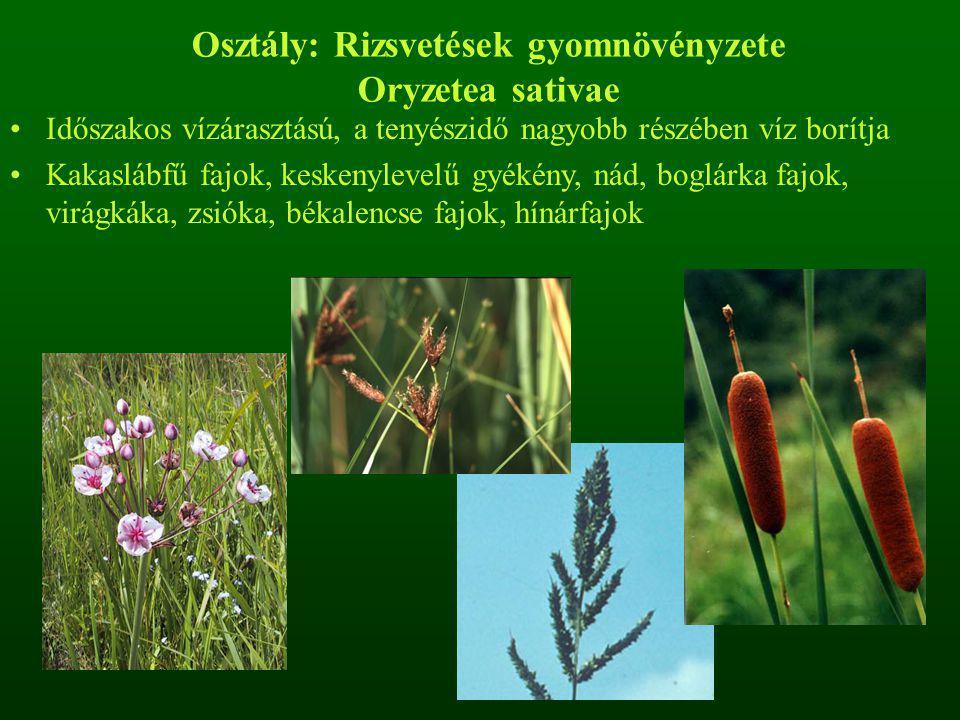 Osztály: Rizsvetések gyomnövényzete Oryzetea sativae Időszakos vízárasztású, a tenyészidő nagyobb részében víz borítja Kakaslábfű fajok, keskenylevelű gyékény, nád, boglárka fajok, virágkáka, zsióka, békalencse fajok, hínárfajok