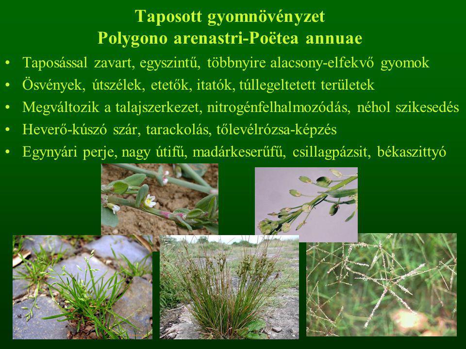 Taposott gyomnövényzet Polygono arenastri-Poëtea annuae Taposással zavart, egyszintű, többnyire alacsony-elfekvő gyomok Ösvények, útszélek, etetők, itatók, túllegeltetett területek Megváltozik a talajszerkezet, nitrogénfelhalmozódás, néhol szikesedés Heverő-kúszó szár, tarackolás, tőlevélrózsa-képzés Egynyári perje, nagy útifű, madárkeserűfű, csillagpázsit, békaszittyó