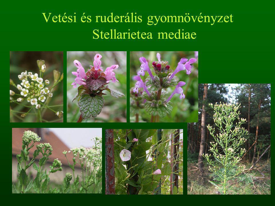 Főleg nagy termetű, ruderális fajok, magaskórós jellegű növényzet Árterek, kiszáradó folyómedrek, láperdők kiszáradáskor Tápanyagban gazdag iszap, nedves talajok, természetes zavarás Farkasfog fajok, szerbtövis fajok, vízimenta, keserűfű fajok, torzsika boglárka Osztály: Mocsári és folyóhordaléki gyomnövényzet Bidentetea tripartiti