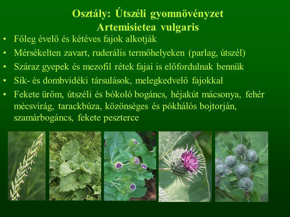 Osztály: Útszéli gyomnövényzet Artemisietea vulgaris Főleg évelő és kétéves fajok alkotják Mérsékelten zavart, ruderális termőhelyeken (parlag, útszél) Száraz gyepek és mezofil rétek fajai is előfordulnak bennük Sík- és dombvidéki társulások, melegkedvelő fajokkal Fekete üröm, útszéli és bókoló bogáncs, héjakút mácsonya, fehér mécsvirág, tarackbúza, közönséges és pókhálós bojtorján, szamárbogáncs, fekete peszterce