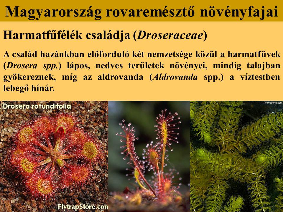 Harmatfűfélék családja (Droseraceae) A család hazánkban előforduló két nemzetsége közül a harmatfüvek (Drosera spp.) lápos, nedves területek növényei,