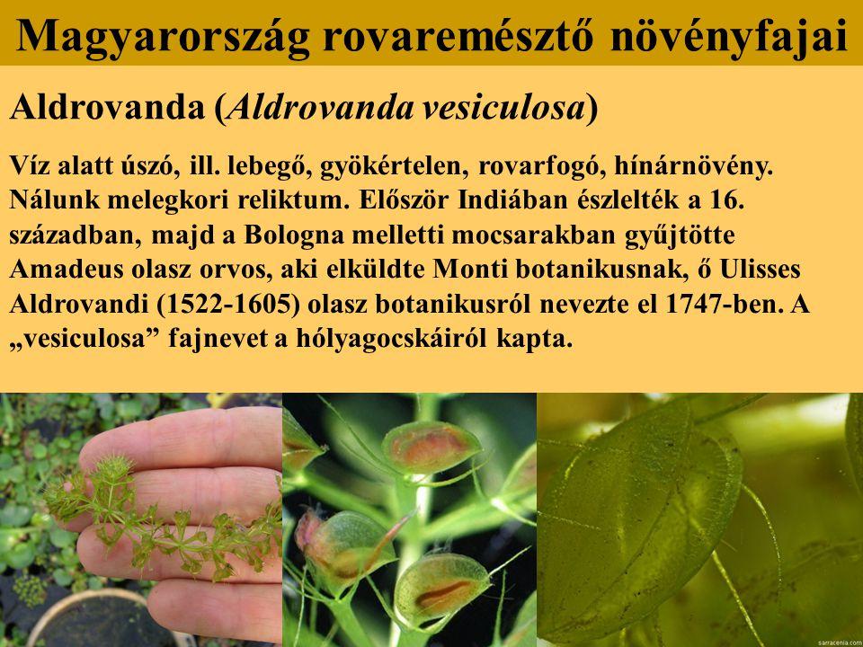 Aldrovanda (Aldrovanda vesiculosa) Víz alatt úszó, ill. lebegő, gyökértelen, rovarfogó, hínárnövény. Nálunk melegkori reliktum. Először Indiában észle