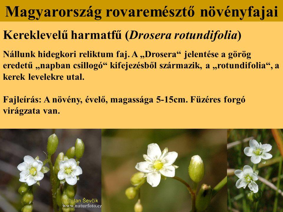 """Kereklevelű harmatfű (Drosera rotundifolia) Nállunk hidegkori reliktum faj. A """"Drosera"""" jelentése a görög eredetű """"napban csillogó"""" kifejezésből szárm"""