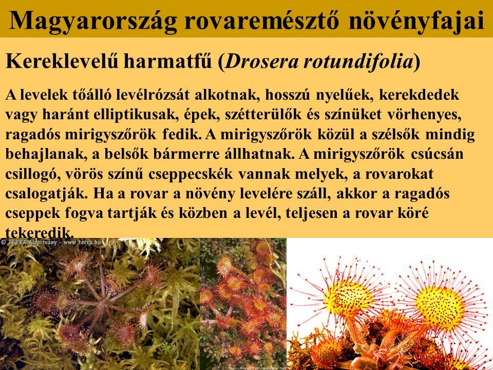 Kereklevelű harmatfű (Drosera rotundifolia) A levelek tőálló levélrózsát alkotnak, hosszú nyelűek, kerekdedek vagy haránt elliptikusak, épek, szétterü