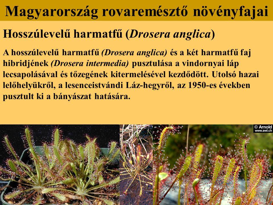 Hosszúlevelű harmatfű (Drosera anglica) A hosszúlevelű harmatfű (Drosera anglica) és a két harmatfű faj hibridjének (Drosera intermedia) pusztulása a