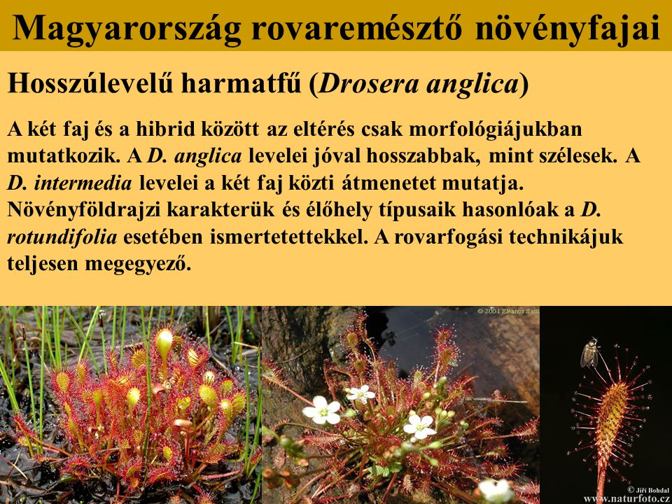 Hosszúlevelű harmatfű (Drosera anglica) A két faj és a hibrid között az eltérés csak morfológiájukban mutatkozik. A D. anglica levelei jóval hosszabba