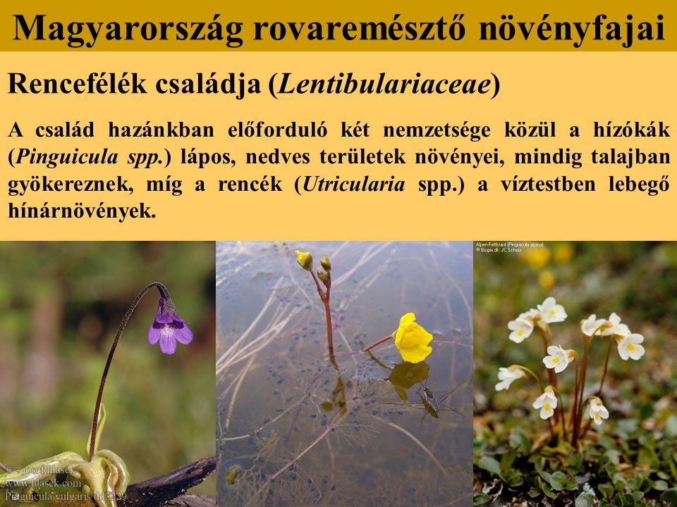 Rencefélék családja (Lentibulariaceae) A család hazánkban előforduló két nemzetsége közül a hízókák (Pinguicula spp.) lápos, nedves területek növényei