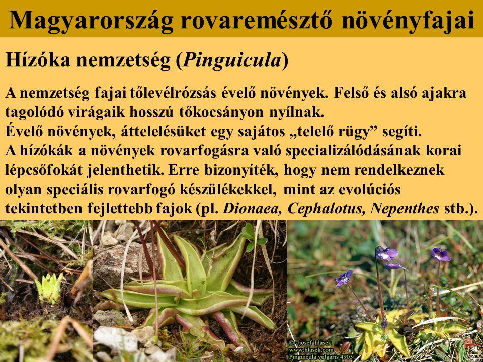 Hízóka nemzetség (Pinguicula) A nemzetség fajai tőlevélrózsás évelő növények. Felső és alsó ajakra tagolódó virágaik hosszú tőkocsányon nyílnak. Évelő