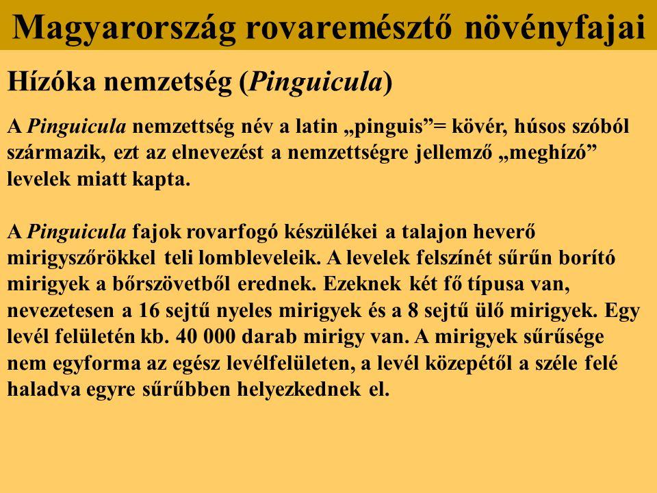 """Hízóka nemzetség (Pinguicula) A Pinguicula nemzettség név a latin """"pinguis""""= kövér, húsos szóból származik, ezt az elnevezést a nemzettségre jellemző"""