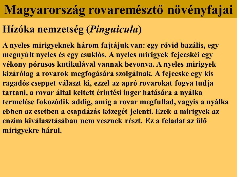 Hízóka nemzetség (Pinguicula) A nyeles mirigyeknek három fajtájuk van: egy rövid bazális, egy megnyúlt nyeles és egy csuklós. A nyeles mirigyek fejecs