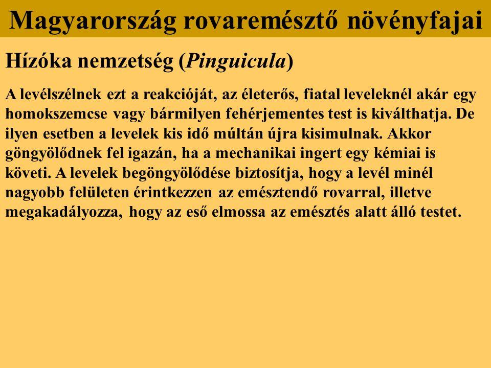 Hízóka nemzetség (Pinguicula) A levélszélnek ezt a reakcióját, az életerős, fiatal leveleknél akár egy homokszemcse vagy bármilyen fehérjementes test