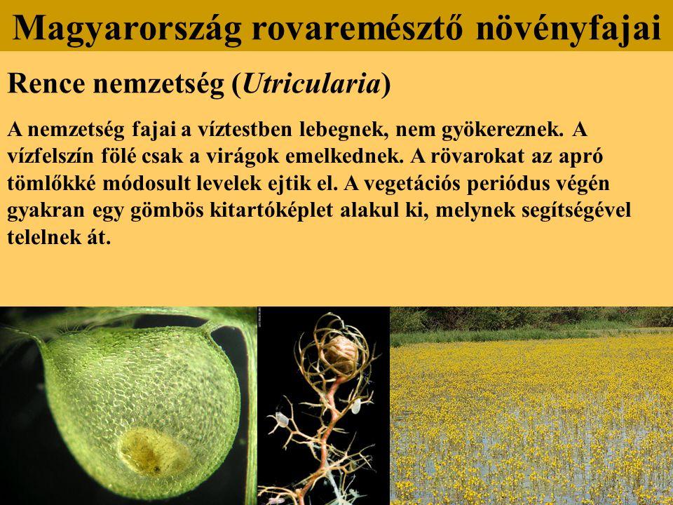 Rence nemzetség (Utricularia) A nemzetség fajai a víztestben lebegnek, nem gyökereznek. A vízfelszín fölé csak a virágok emelkednek. A rövarokat az ap