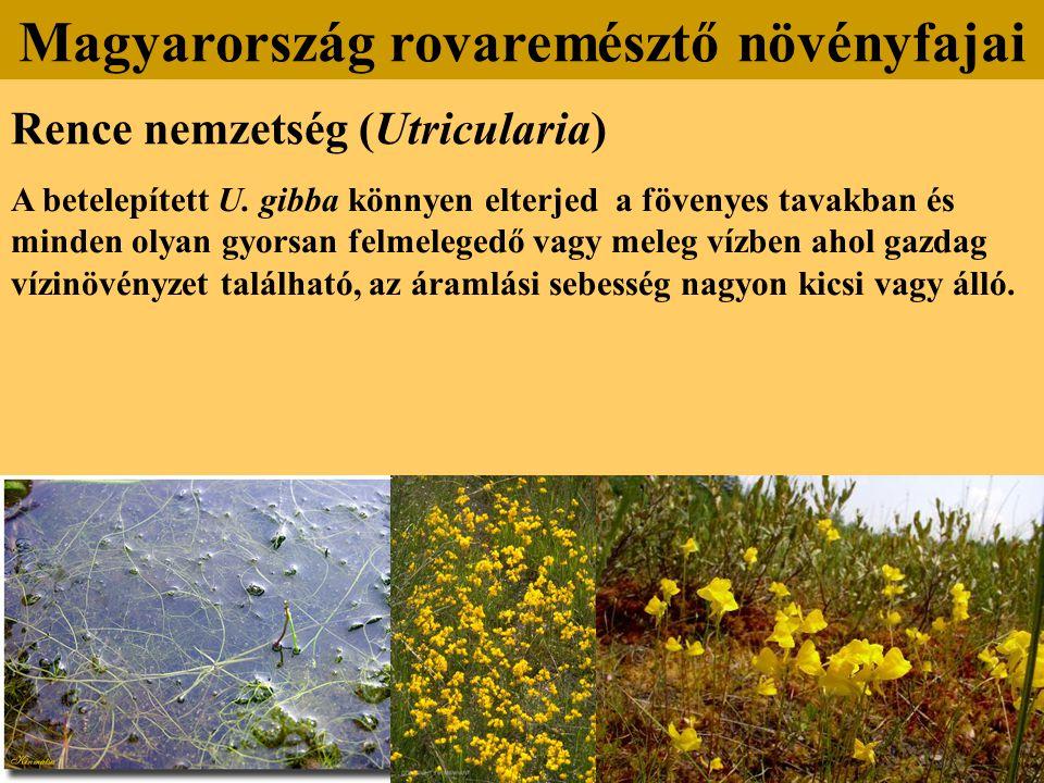Rence nemzetség (Utricularia) A betelepített U. gibba könnyen elterjed a fövenyes tavakban és minden olyan gyorsan felmelegedő vagy meleg vízben ahol