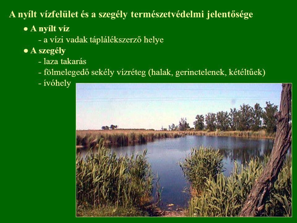A nyílt vízfelület és a szegély természetvédelmi jelentősége ● A nyílt víz - a vízi vadak táplálékszerző helye ● A szegély - laza takarás - fölmeleged