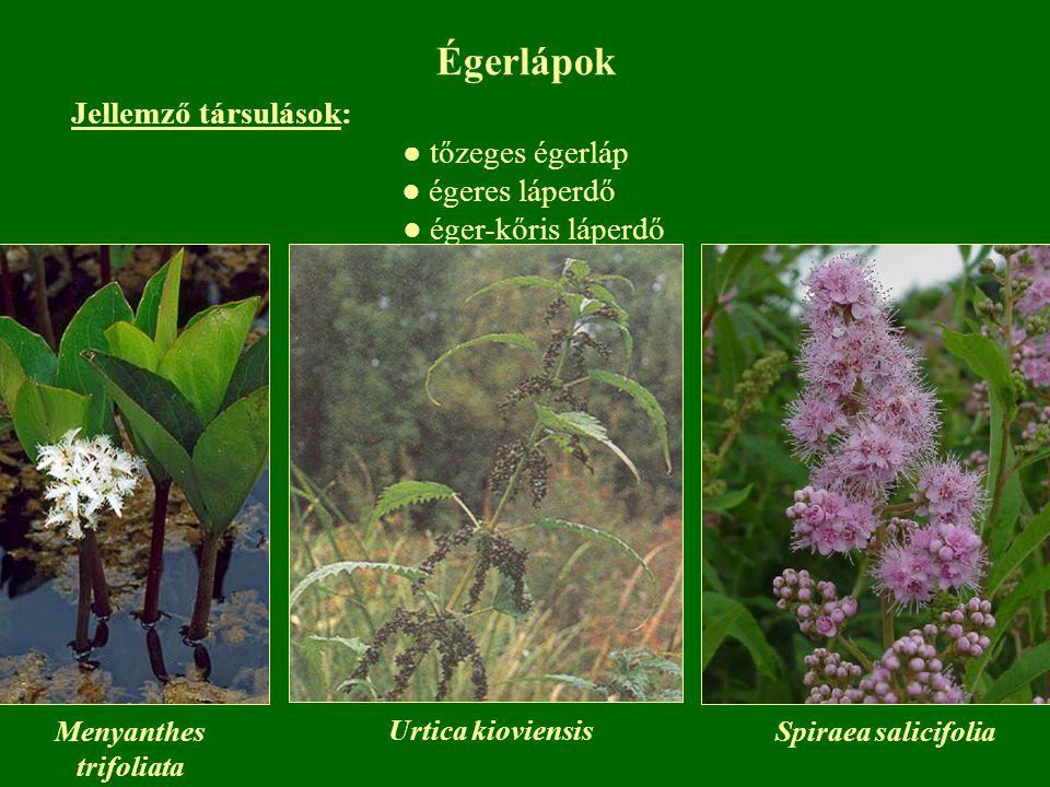 Égerlápok Jellemző társulások: ● tőzeges égerláp ● égeres láperdő ● éger-kőris láperdő Menyanthes trifoliata Urtica kioviensis Spiraea salicifolia