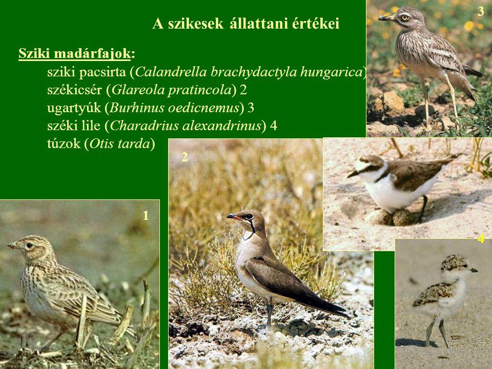 A szikesek állattani értékei Sziki madárfajok: sziki pacsirta (Calandrella brachydactyla hungarica) 1 székicsér (Glareola pratincola) 2 ugartyúk (Burh
