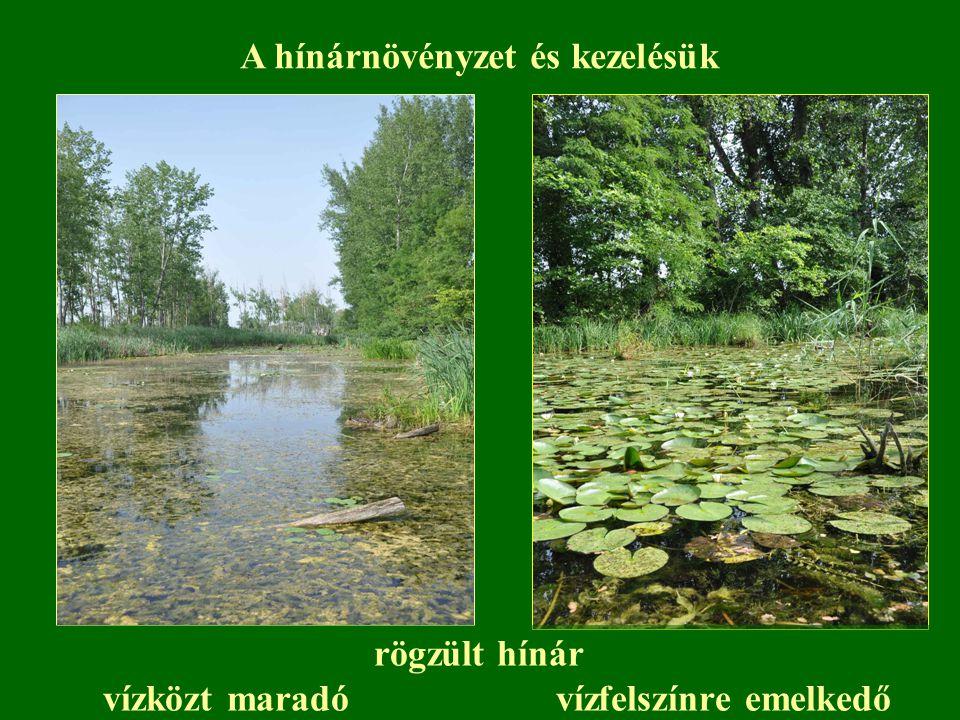 rögzült hínár vízközt maradó vízfelszínre emelkedő A hínárnövényzet és kezelésük