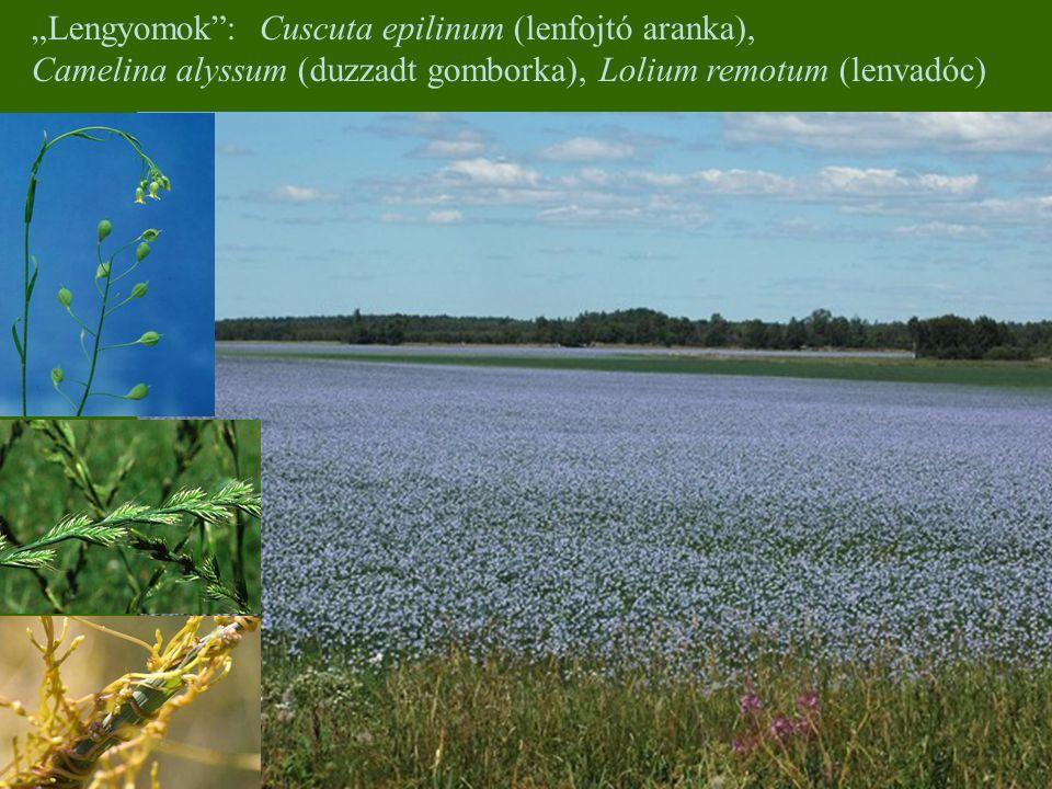 """""""Lengyomok"""": Cuscuta epilinum (lenfojtó aranka), Camelina alyssum (duzzadt gomborka), Lolium remotum (lenvadóc)"""