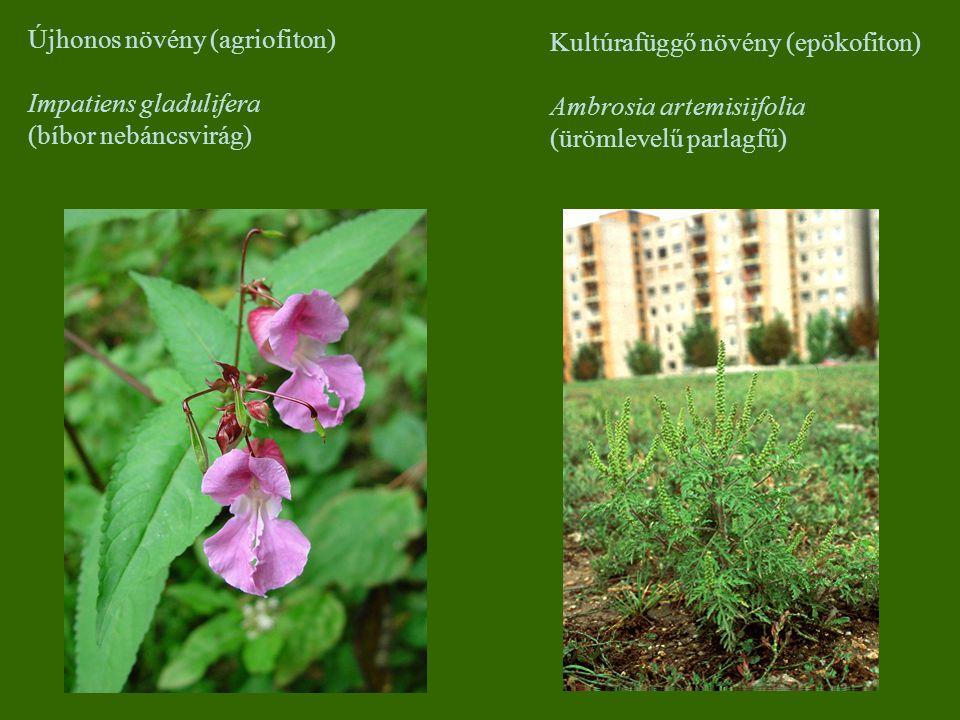 Újhonos növény (agriofiton) Impatiens gladulifera (bíbor nebáncsvirág) Kultúrafüggő növény (epökofiton) Ambrosia artemisiifolia (ürömlevelű parlagfű)