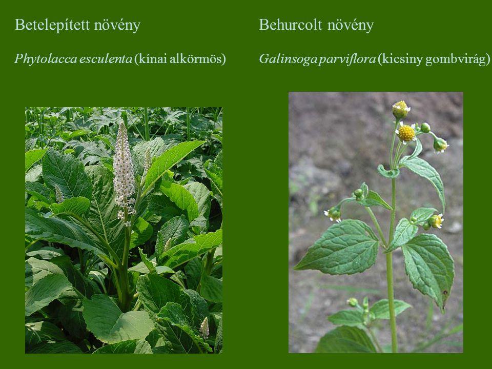 Betelepített növény Phytolacca esculenta (kínai alkörmös) Behurcolt növény Galinsoga parviflora (kicsiny gombvirág)
