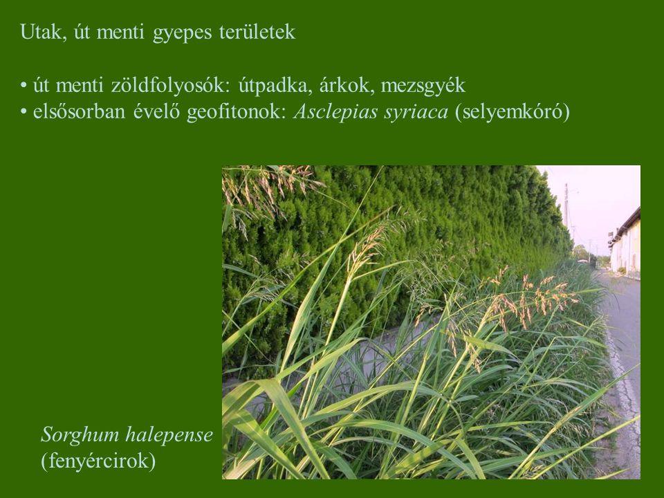 Utak, út menti gyepes területek út menti zöldfolyosók: útpadka, árkok, mezsgyék elsősorban évelő geofitonok: Asclepias syriaca (selyemkóró) Sorghum ha