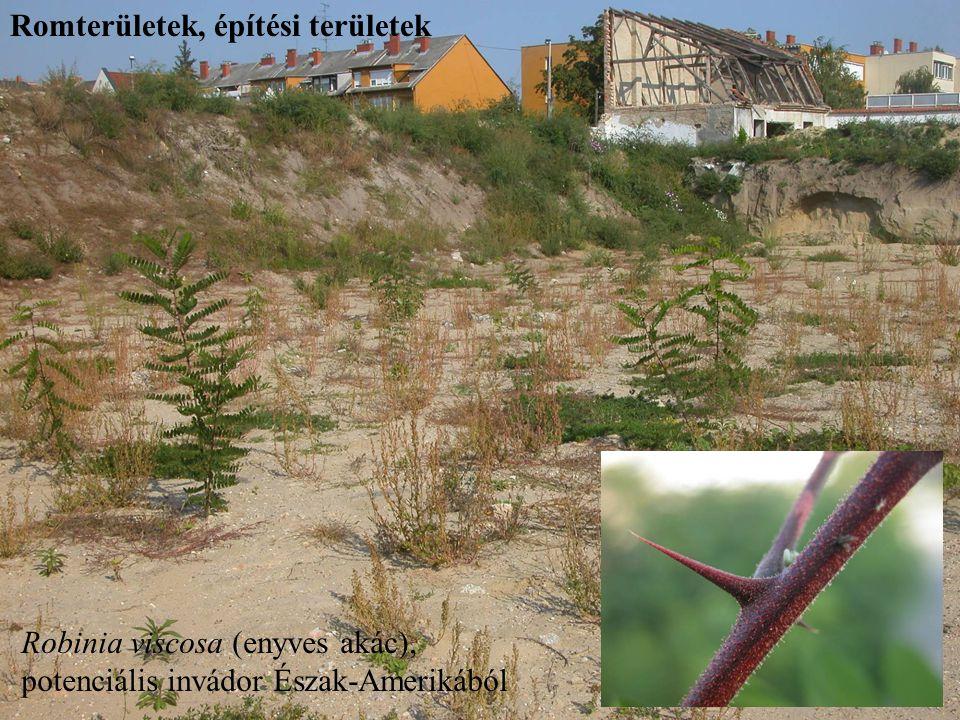 Robinia viscosa (enyves akác), potenciális invádor Észak-Amerikából Romterületek, építési területek