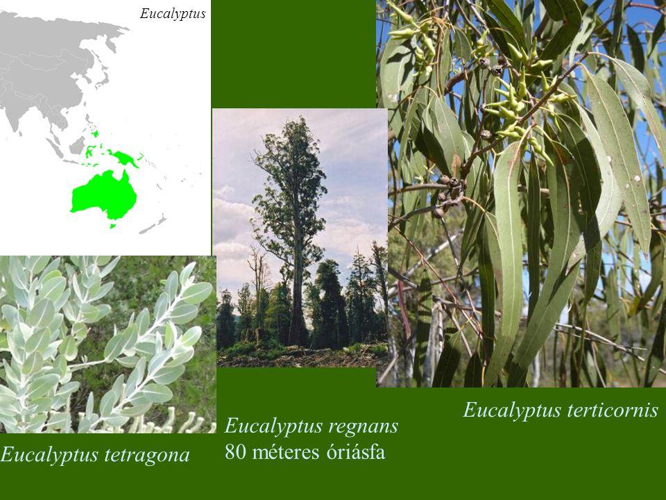Eucalyptus tetragona Eucalyptus terticornis Eucalyptus regnans 80 méteres óriásfa Eucalyptus