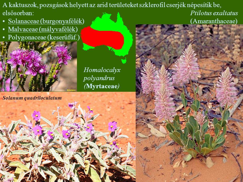 A kaktuszok, pozsgások helyett az arid területeket szklerofil cserjék népesítik be, elsősorban: Solanaceae (burgonyafélék) Malvaceae (mályvafélék) Polygonaceae (keserűfűf.) Solanum quadriloculatum Ptilotus yellabinna (Amaranthaceae) Ptilotus exaltatus (Amaranthaceae) Homalocalyx polyandrus (Myrtaceae)